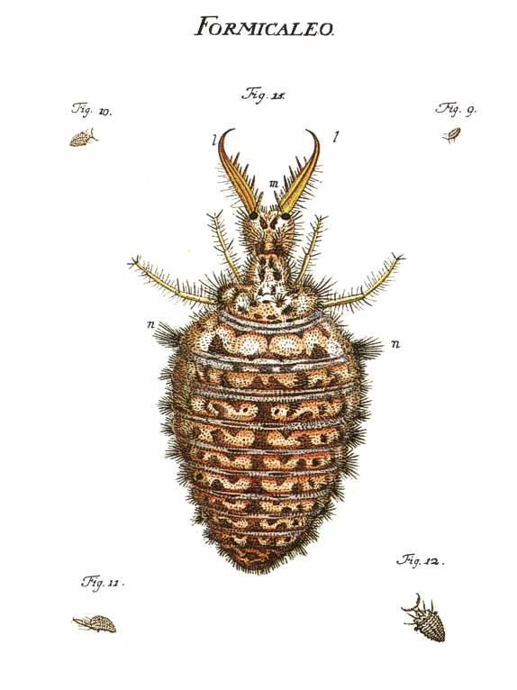 Ameisenloewe, Gravur von Roesel von Rosenhof, Wikipedia
