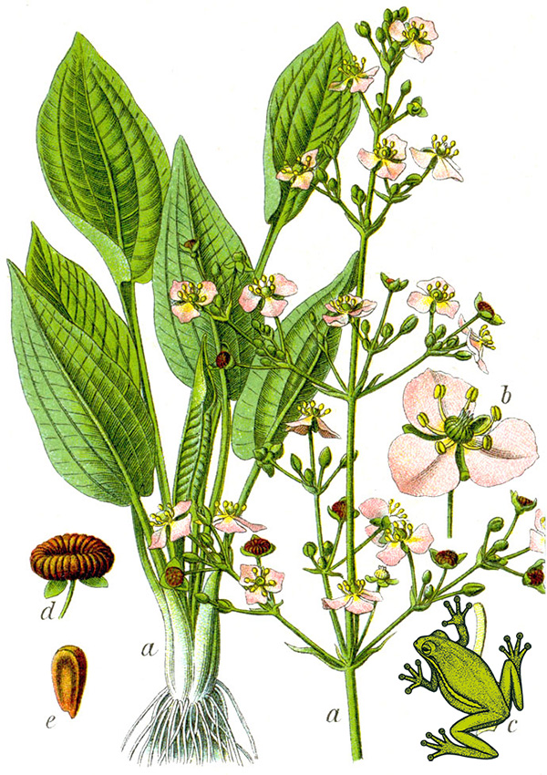 Alisma plantago-aquatica bei Jacob Sturm, v. Kurt Stübere auf Wikipedia